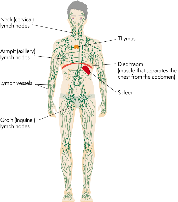 Lymphoma Action | The lymphatic system