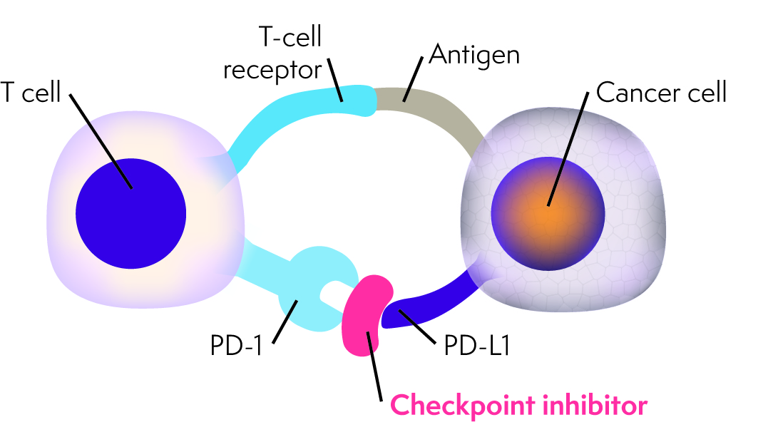 Diagram showing checkpoint inhibitor blocking PD-1/PD-L1 immune checkpoint between a T cell and cancerous cell