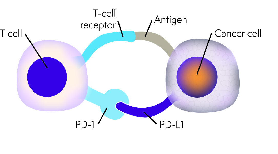 Diagram showing PD-1/PD-L1 immune checkpoint between a T cell and cancerous cell