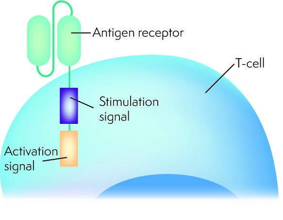 Diagram showing a T cell with a chimeric antigen receptor, with the activation signal meeting the stimulation signal attached to the antigen receptor