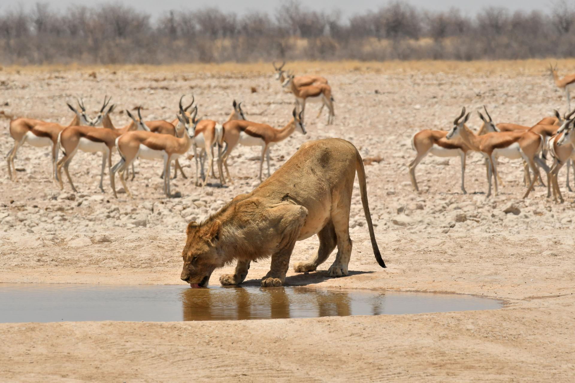 Lions and gazelles