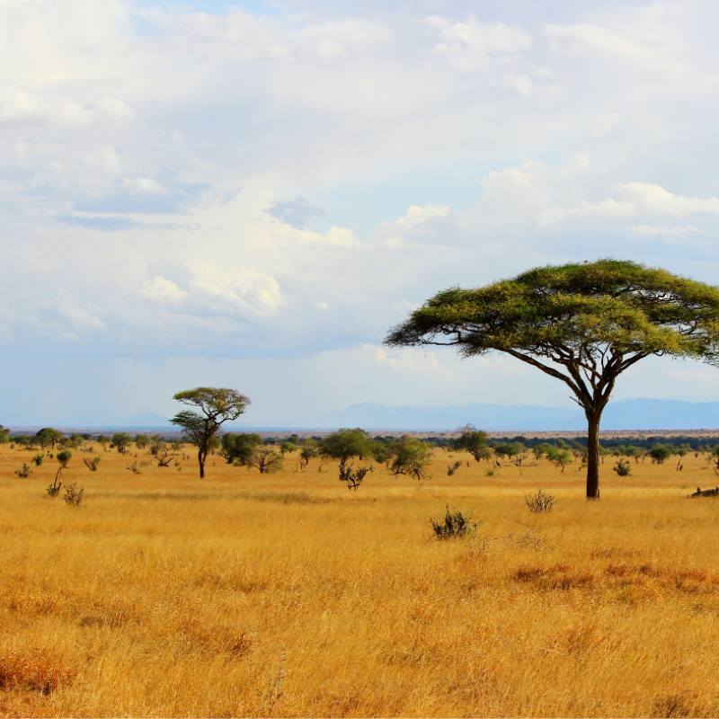 Acacia tree and grasslands, Kenya