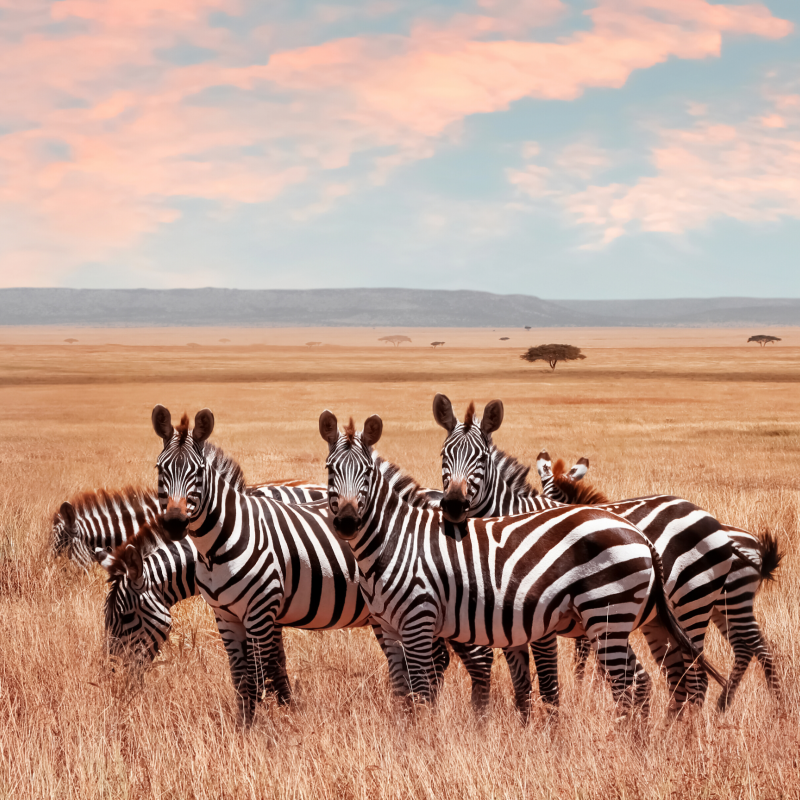 Zebra at sunrise, Kenya